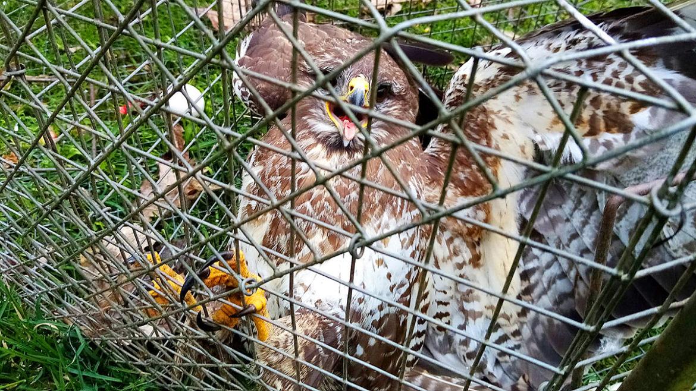 Illegal verfolgt – Greifvogelfallen in Bad Orb gesichtet