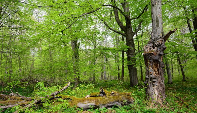 Bild: Harry Neumann/Naturschutzinitiative e.V. (NI), Buchenwald im Nationalpark Hainich/Thüringen