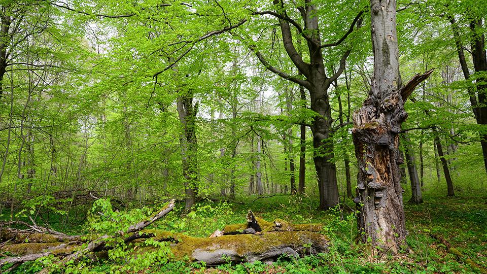 Umweltverband Naturschutzinitiative fordert Schutz für Buchenwälder
